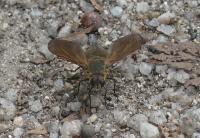 Bee Fly - Comptosia sp. (Bombyliidae)
