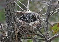 Hooded Robin nestling