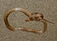 brown snake in a knot
