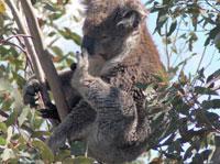 Koala Phascolarctos cinereus