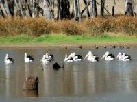 Australian Pelicans  Pelicanus conspicillatus