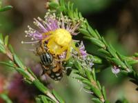 Flower Spider with fly Daiea sp