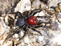 Mouse Spider Missulena occatoria  male