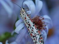 Utetheisa pulchelloides Heliotrope Moth