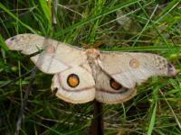 Opodiphthera eucalypti Helena  Emperor Gum Moth
