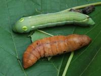 Hippotion celerio  Larva and pupa