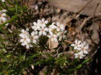 Leucopogon virgatus Common Beard-heath