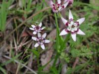 Wurmbea dioica  Early Nancy female flower