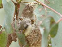 Fuscous Honeyeater young in nest.