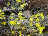 Hibbertia riparia  Erect Guinea-flower