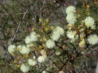Acacia genistifolia  Spreading Wattle