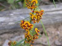 Daviesia leptophylla Narrow-leaf Bitter-pea