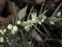 Melichrus urceolatus Urn Heath