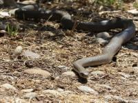 Eastern Brown Snake  Pseudonaja textilis