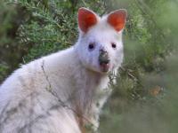 Wallabia bicolor Albino form