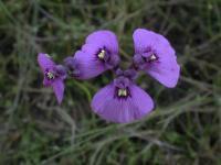 Utricularia  dichotoma Fairies' Aprons
