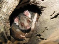 Common Ringtail Possum  Pseudocheirus peregrinus