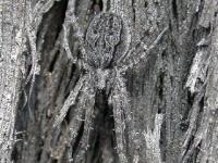 Grey spider on burnt ironbark