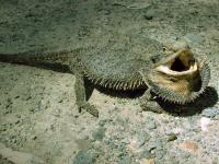 Bearded Dragon  Amphibolurus barbatus