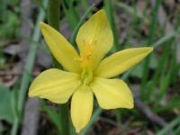 Bulbine bulbosa  Bulbine Lily