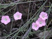 Convolvulus erubescens Pink Bindweed