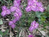 Thysanotus tuberosus  Common Fringe-lily