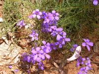 Cheiranthera cyanea  Blue Finger-flower