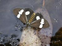 Nyctemera amicus male Magpie Moth