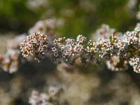 Micromyrtus ciliatus Fringed Heath-myrtle