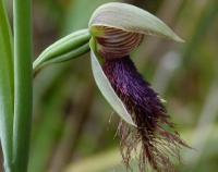 Calochilus robertsonii  Purple Beard-orchid