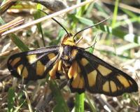 Tiger Moth -Amata sp. (Erebidae, Arctiinae), Mt Pilot N Blair