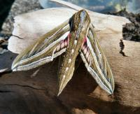 Hippotion celerio Vine Hawk Moth
