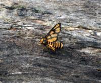 Amata aperta Pale Spotted Tiger Moth Ch M W