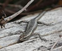 Cryptoblepharus pannosus at  Yeddonba