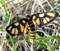 Tiger Moth -Amata sp. (Erebidae, Arctiinae), Mt Pilot2