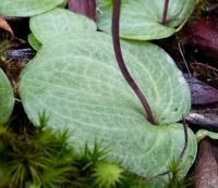 Cyrtostylis reniformis leaf Small Gnat-orchid