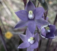 Thelymitra nuda  Plain  Sun Orchid