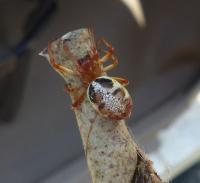 Leaf-curling Spider Phonognatha graeffei