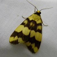 Termessa diplographa  Lichen Moth