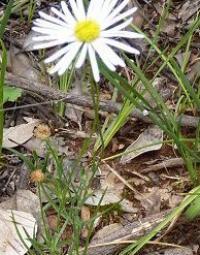 Brachyscome basaltica var gracilis