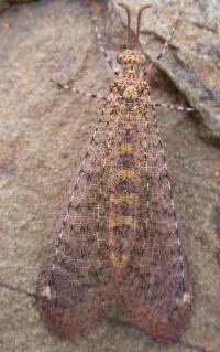 Antlion - Glenoleon species