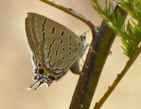 Stencilled Hairstreak Jalmenus ictinus